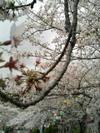 Sakura403