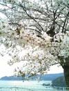 Sakura405